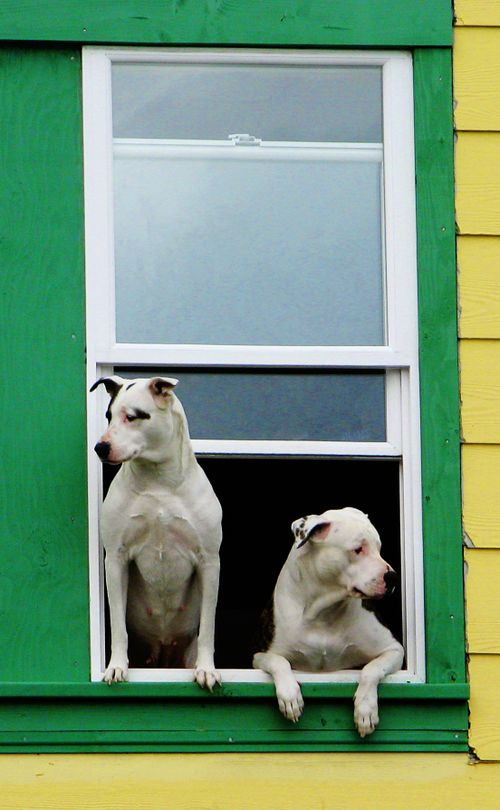 Dogs in window color pop